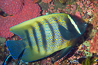 Six-banded Angelfish, Pomacanthus sexstriatus, being cleaned by Bluestreak Cleaner Wrasse, Labroides dimidiatus, by coral, Tatawa Kecil dive site, between Komodo and Flores islands, Komodo National Park, Indonesia, Indian Ocean