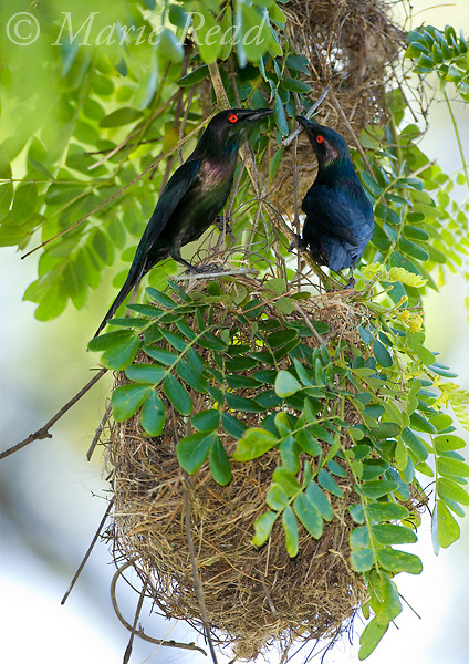 Metallic (=Shining) Starlings (Aplonis metallica) pair at nest colony, Tully, Queensland, Australia
