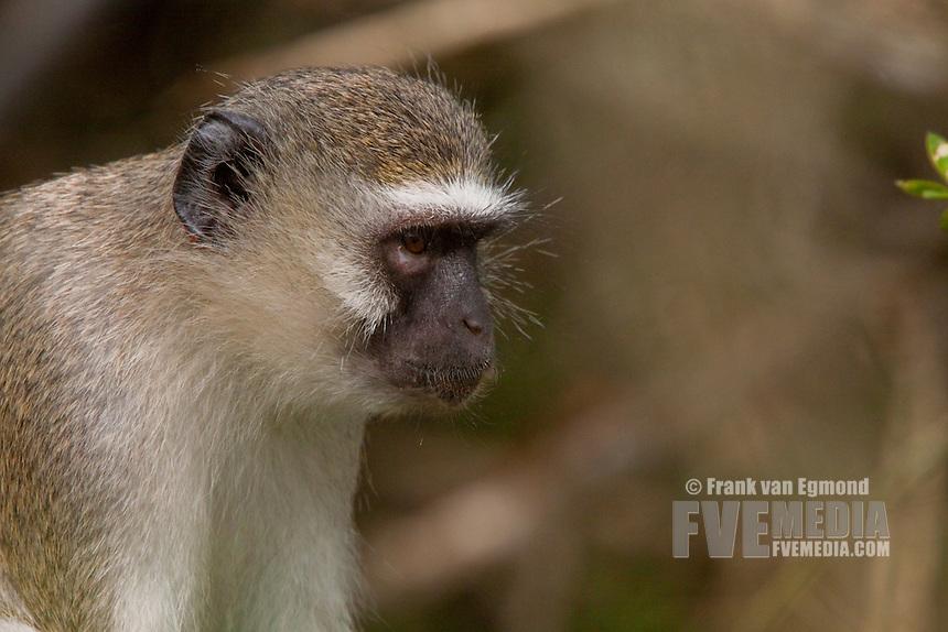 Vervet Monkey (Chlorocebus Pygerythrus)..Potrait. The thinker..May, Winter 2009..Ndumo Game Reserve, Kwazulu-Natal, South Africa.