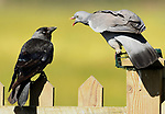 SEQUENCE: 12/12: The pigeon has ago at a jackdaw. <br /> <br /> A bullying pigeon picks up a starling by the wing and flings it over its shoulder to stop it taking any of its food.  The small brown bird is ditched over the side of the fence by the much larger pigeon.<br /> <br /> Pigeons can be very aggressive over territory and the juvenile starlings tried their hardest to get a few morsels from the bird feeder.  The photographs were captured in Hatfield Peverel in Essex, by computer programmer, Alex Appleby.  SEE OUR COPY FOR DETAILS.<br /> <br /> Please byline: Alex Appleby/Solent News<br /> <br /> © Alex Appleby/Solent News & Photo Agency<br /> UK +44 (0) 2380 458800