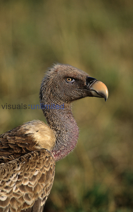 Ruppells Griffon Vulture head ,Gyps ruepellii, Kenya, Africa.