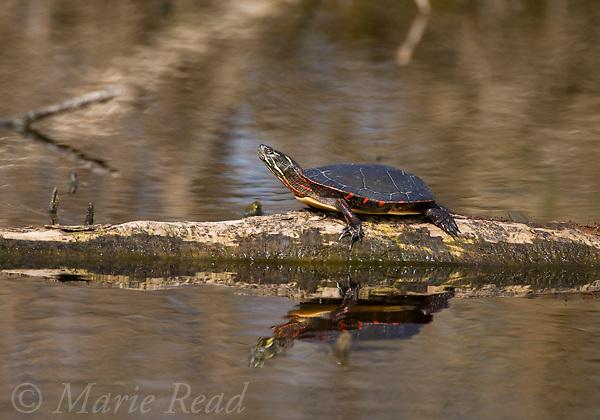 Eastern Painted Turtle (Chrysemis picta picta) basking on a partially submerged log, Montezuma National Wildlife Refuge, New York, USA