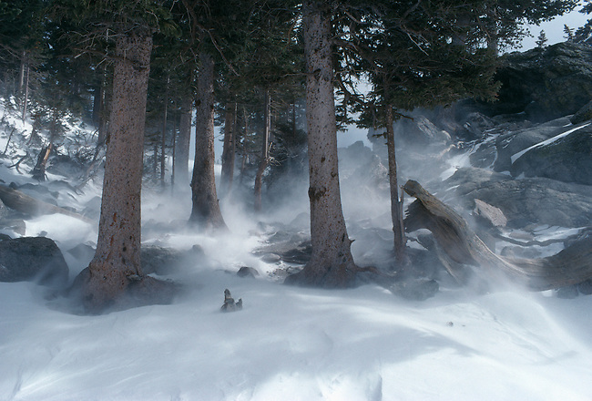 High winds blow snow against pines, Rocky Mtn Nat'l Park, CO