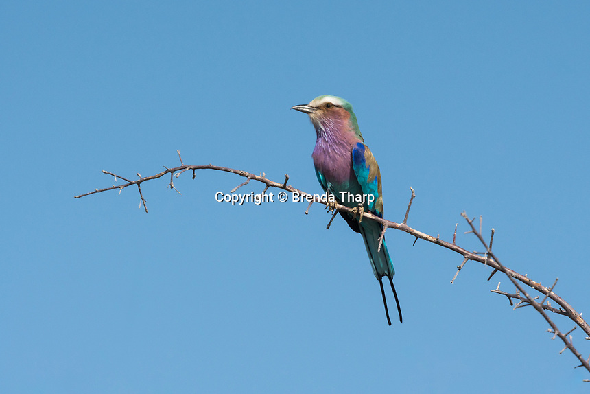 Namibia, a colorful Lilac Breasted Roller  (coracias caudatus) sits on a branch against the blue sky.