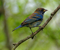 Adult male indigo bunting in non-breeding plumage