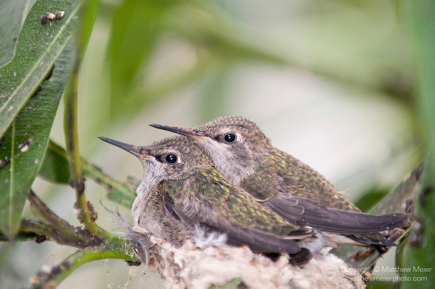 La Jolla, California;  two, three week old Anna's Hummingbird (Calypte anna) chicks, sitting in their nest, waiting to be fed