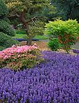 Seattle, WA<br /> Kubota Garden city park, flowering azalea and ajuga in the Tom Kubota Stroll Garden