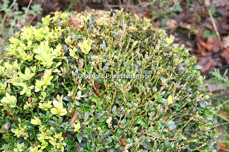 box blight volutella buxi cylindrocladium buxicola at rhs harlow carr scented garden jpg. Black Bedroom Furniture Sets. Home Design Ideas