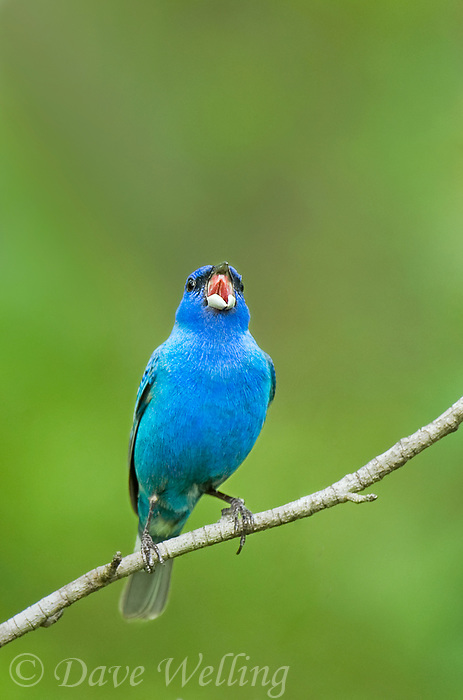 510370056 a wild adult male indigo bunting passerina cyanea sings or vocalizes while perched on a small tree limb in angelina county in east texas