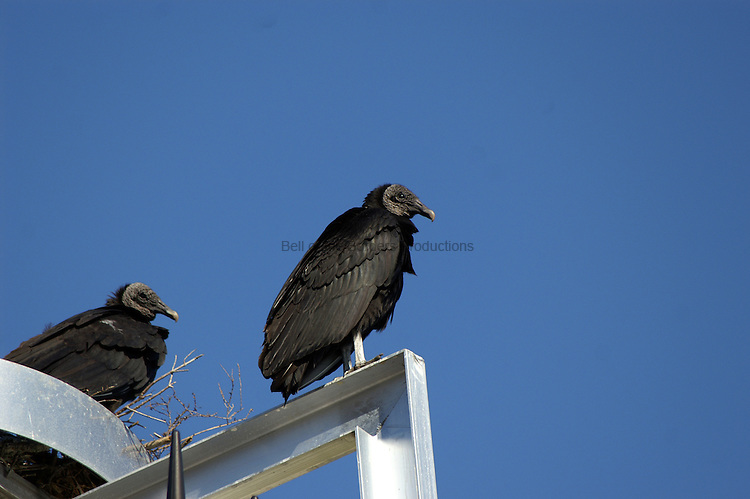 This pair of vultures are taking advantage of efforts to provide osprey a safe nesting site.