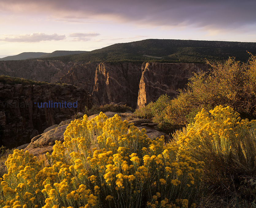 Golden Rabbitbrush in bloom, Black Canyon of the Gunnison National Monument, Colorado, USA.
