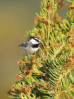 Chickadee - Mountain