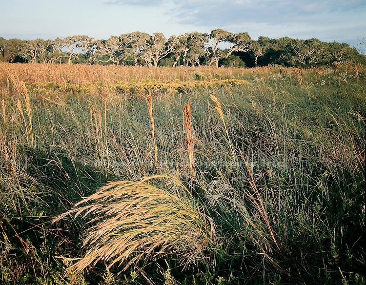 Live Oak grove   grass prairie Goose Island SP  TEXAS