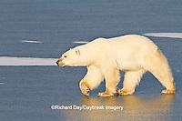 01874-13014 Polar Bear (Ursus maritimus) walking on frozen pond Churchill Wildlife Management Area, Churchill, MB