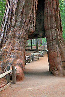 Tunnel tree. Mariposa Grove. Yosemite National Park, California