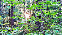 Forest, light, Cascade Mountains, evening, Oregon, Mt. Hood, Mt. Hood National Forest, Camp Creek, U.S. 26, Government Camp, vine maple, big leaf maple, fir, cedar, hemlock, sun, flora, deep woods, quiet place, quiet time, camping, recreation