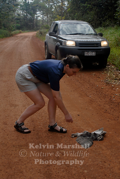 A lady removing a dead Sooty owl from the side of a road, probably the result of a road kill situation.