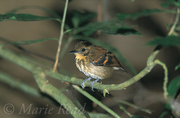 Spotted Antbird (Hylophylax naevioides) female, Soberania National Park, Panama<br /> Slide # B101-208<br /> CMYK drumscan