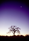 BOTSWANA, Africa, Chobe National Park and Game Reserve, a tree and the moon at dusk