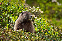 Marmot in Spray Park, Mt. Rainier