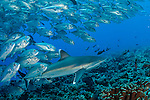 Silvertip Shark, Carcharhinus albimarginatus, swims along Avatoru Pass in Rangiroa, French Polynesia, while it is mobbed by a school of Bigeye Trevally, Caranx sexfasciatus