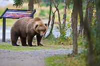 Brown bear along a trail, Katmai National Park, southwest, Alaska.