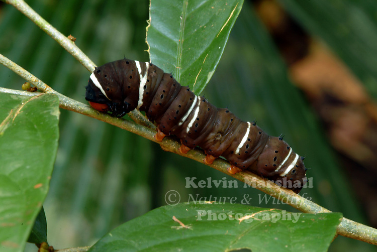 An unknown Caterpillar species feeding on its host plant.