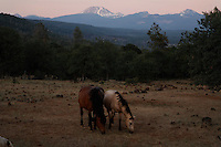 "Mustangs graze late into a summer evening,<br /> <br /> Dianne Nelson has saved mustangs on a ranch in northern California.  ""It was in 1978 that the Wild Horse Sanctuary founders rounded up almost 300 wild horses for the Forest Service in Modoc County, California. Of those 300, 80 were found to be un-adoptable and were scheduled to be destroyed at a government holding facility near Tule Lake, California. <br /> <br /> The Sanctuary is located near Shingletown, California on 5,000 acres of lush lava rock-strewn mountain meadow and forest land. Black Butte is to the west and towering Mt. Lassen is to the east. <br /> Their goals:<br /> Increase public awareness of the genetic, biological, and social value of America's wild horses through pack trips on the sanctuary, publications, mass media, and public outreach programs.<br /> Continue to develop a working, replicable model for the proper and responsible management of wild horses in their natural habitat.<br /> Demonstrate that wild horses can co-exist on the open range in ecological balance with many diverse species of wildlife, including black bear, bobcat, mountain lion, wild turkeys, badger, and gray fox.<br /> Collaborate with research projects in order to document the intricate and unique social structure, biology, reversible fertility control, and native intelligence of the wild horse."