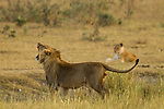 African Lion (Panthera leo) three year old male scent-marking with female in background, Kruger National Park, South Africa