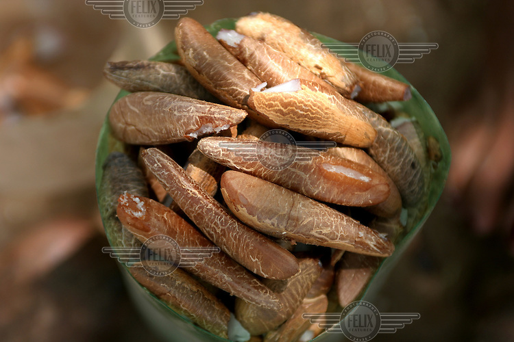 Shelled Babassu nuts. The Babassu palm, native to this northeastern corner of Brazil, is an important part of the local culture and economy - more than 60 products come from it including oil used for cooking and cosmetics as well as the nutshell that is used as cooking fuel.