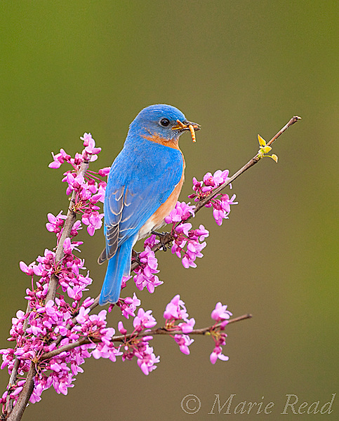 Eastern Bluebird (Sialia sialis) male holding a meaworm in its bill, perched on flowering eastern redbud in spring, New York, USA