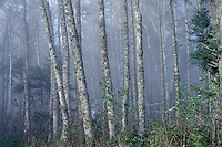 ORCOC_D236 - USA, Oregon, Siuslaw National Forest. Cape Perpetua Scenic Area, Grove of red alder (Alnus rubra) trees in fog.