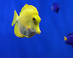 Nose to nose with yellow tropical fish at Moody Gardens Aquarium in Galveston TX
