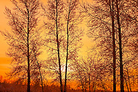Trees at sunrise<br /> Birds Hill Provincial Park<br /> MAnitoba<br /> Canada