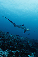 RA50054-Drm. Pelagic Thresher Shark (Alopias pelagicus), swimming deeper after visiting cleaning station on top of reef. Philippines, tropical Indo-Pacific oceans. Color and contrast digitally enhanced.<br /> Photo Copyright &copy; Brandon Cole. All rights reserved worldwide.  www.brandoncole.com