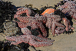 ochre stars and sea anemones. Pescadero State Beach