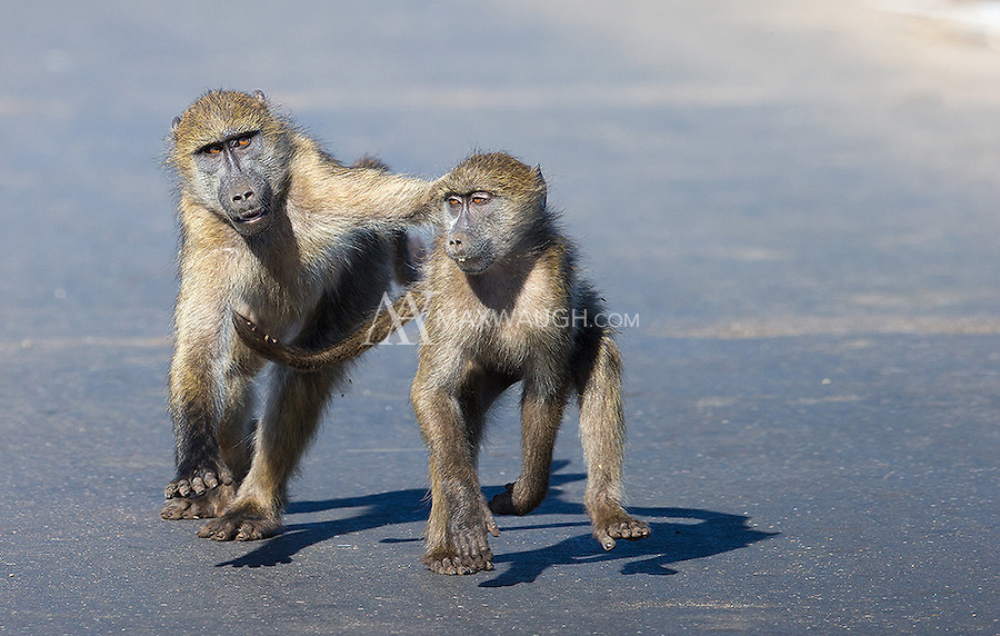 Playful chacma baboons run across a bridge in Kruger National Park.