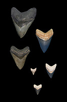 megalodon fossil teeth, showing tremendous varieties in coloraton and size, Carcharocles megalodon, 15.9 - 2.6 million years old, Neogene period