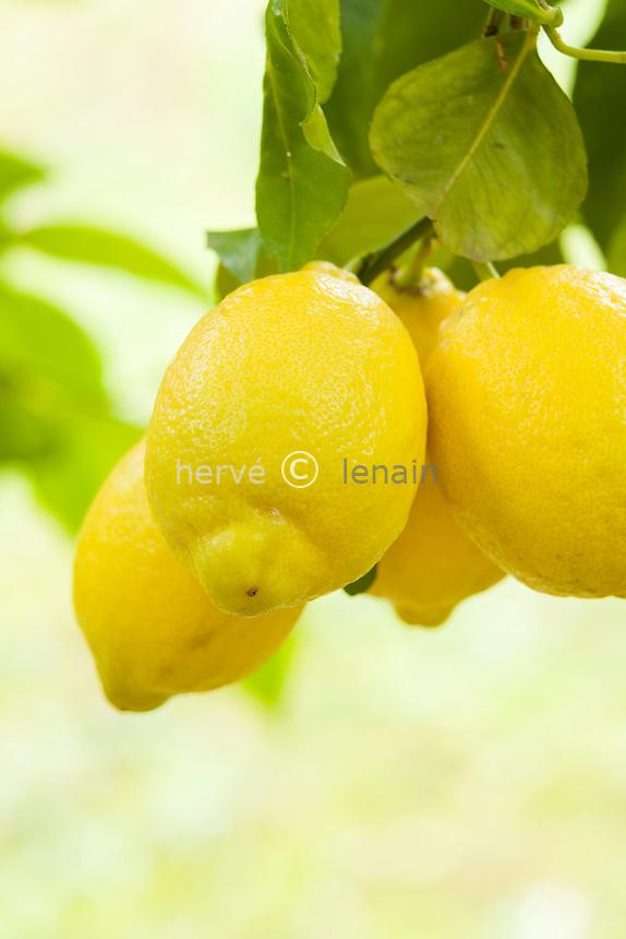 France, Alpes-Maritimes (06), Menton, La Citronneraie, citrons de la variété 'de Menton', Citrus limon 'de Menton' (cultivar non reconnu)