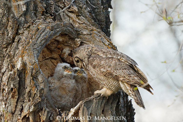 A great horned owl perches on the edge of a heart-shaped hollow, while its owlets sit in their nest inside--Grand Teton National Park, Wyoming.