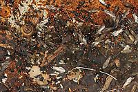 Rotkopfameise, Blick ins Nest, Rotkopf-Ameise, Kippleibameise, Kippleib-Ameise, Herzgasterameise, Crematogaster scutellaris, Acrobat ant, Mediterranean myrmicine ant