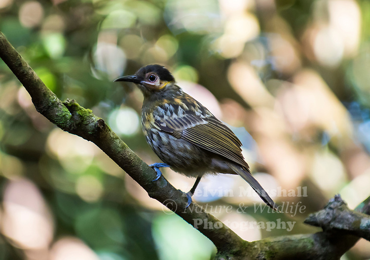 Young Victoria's riflebird (Ptiloris victoriae)