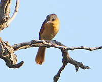 Female rose-throated becard