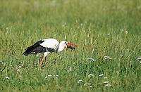 Weißstorch, Weiß-Storch, Weissstorch, Storch, auf Wiese nach Nahrung suchend, mit erbeuteter Maus im Schnabel, Wiesenvogel, Ciconia ciconia, White Stork, Cigogne blanche