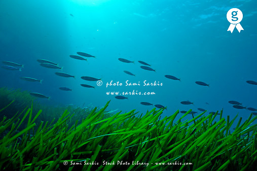 School of Fish by Sea Grass (Posidonia oceanica) (Licence this image exclusively with Getty: http://www.gettyimages.com/detail/84869036 )