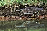 Green Heron - Butorides virescens - juvenile