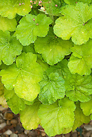 Heuchera 'Miracle'