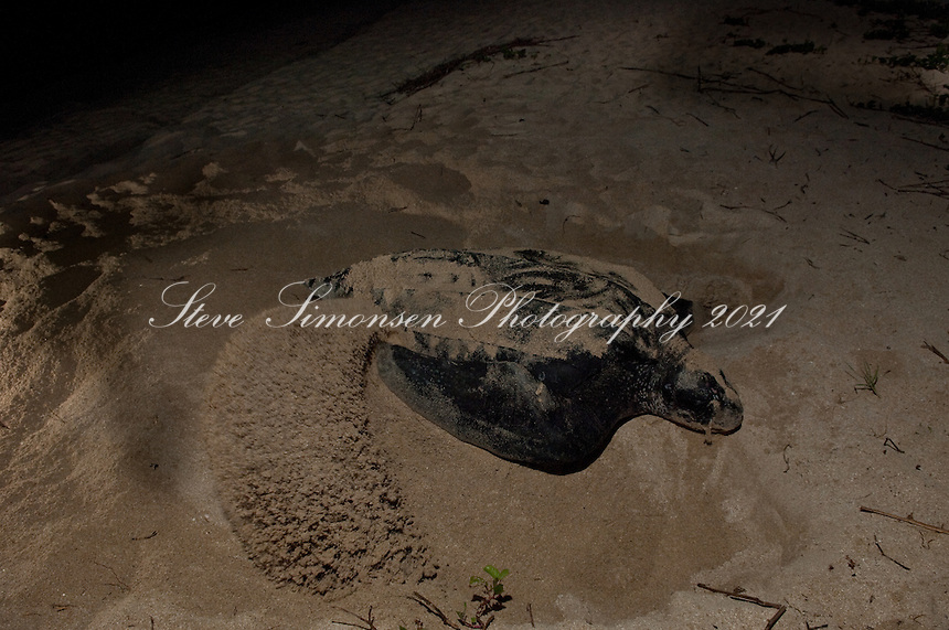 "Endangered Leatherback Turtle ""Disguising"" at Sandy Point Wildlife  Refuge.St Croix, U.S. Virgin Islands"