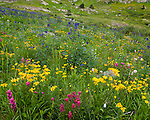 San Juan Mountains, CO<br /> American Basin with delphinium (Delphinium barbeyi), paintbrush (Castilleja rhexifolia), sneezeweed (Dugaldia hoopesii) and other wildflowers in meadows in American Basin