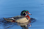 Drake wood duck swimmng in northern Wisconsin.